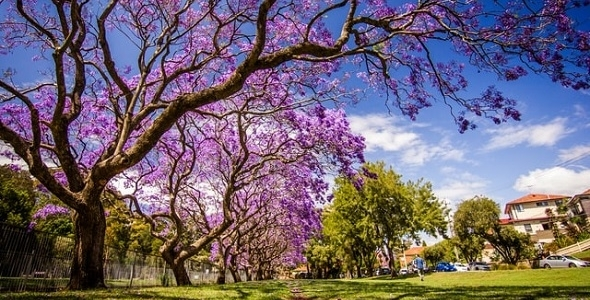 Learn_to_Paint_Jacarandas.jpg